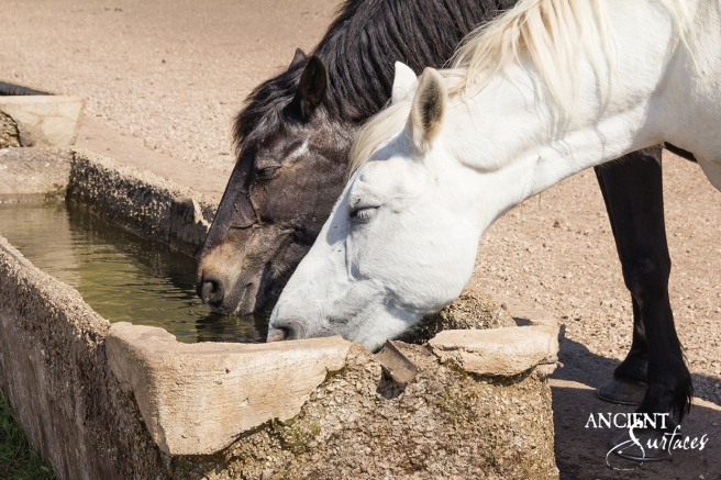horses-drinking-out-of-a-trough